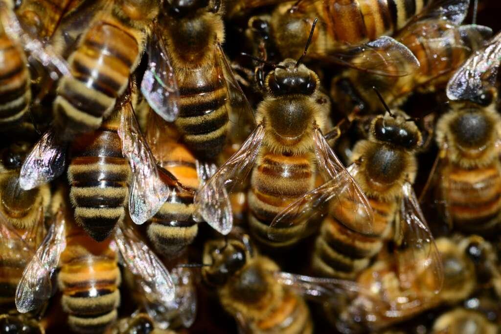 Buckfastbier er de bedste til biavl
