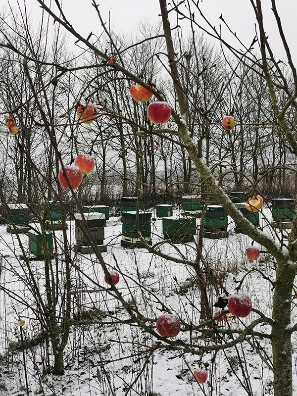 Bistader om vinteren bag ved æbletræ