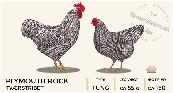 Plymouth rocks