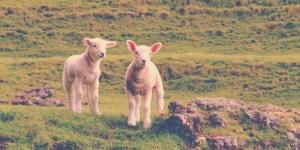 Shepherd-864x431
