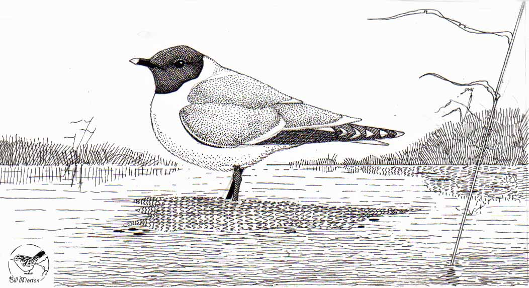 Line drawing of Sabine's Gull from 'The Birds of Frodsham