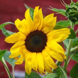Love sunflowers! sunflower nature yellow flower flowers