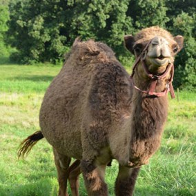 gallerysize_0002_camel