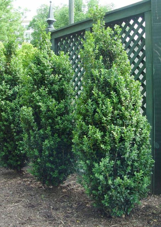 Awesome Fence With Evergreen Plants Landscaping Ideas 1