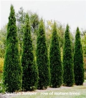 Awesome Fence With Evergreen Plants Landscaping Ideas 24