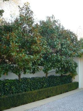 Fascinating Evergreen Pleached Trees for Outdoor Landscaping 15