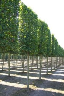 Fascinating Evergreen Pleached Trees for Outdoor Landscaping 36