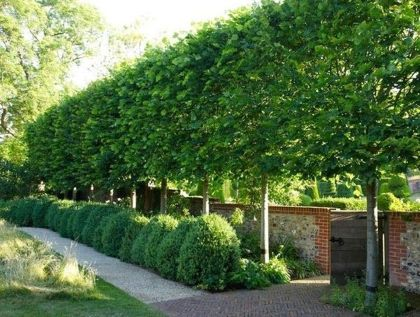Fascinating Evergreen Pleached Trees for Outdoor Landscaping 37