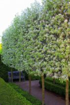 Fascinating Evergreen Pleached Trees for Outdoor Landscaping 46