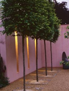 Fascinating Evergreen Pleached Trees for Outdoor Landscaping 6