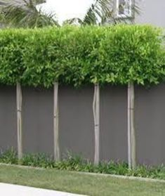 Fascinating Evergreen Pleached Trees for Outdoor Landscaping 67