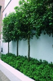 Fascinating Evergreen Pleached Trees for Outdoor Landscaping 68