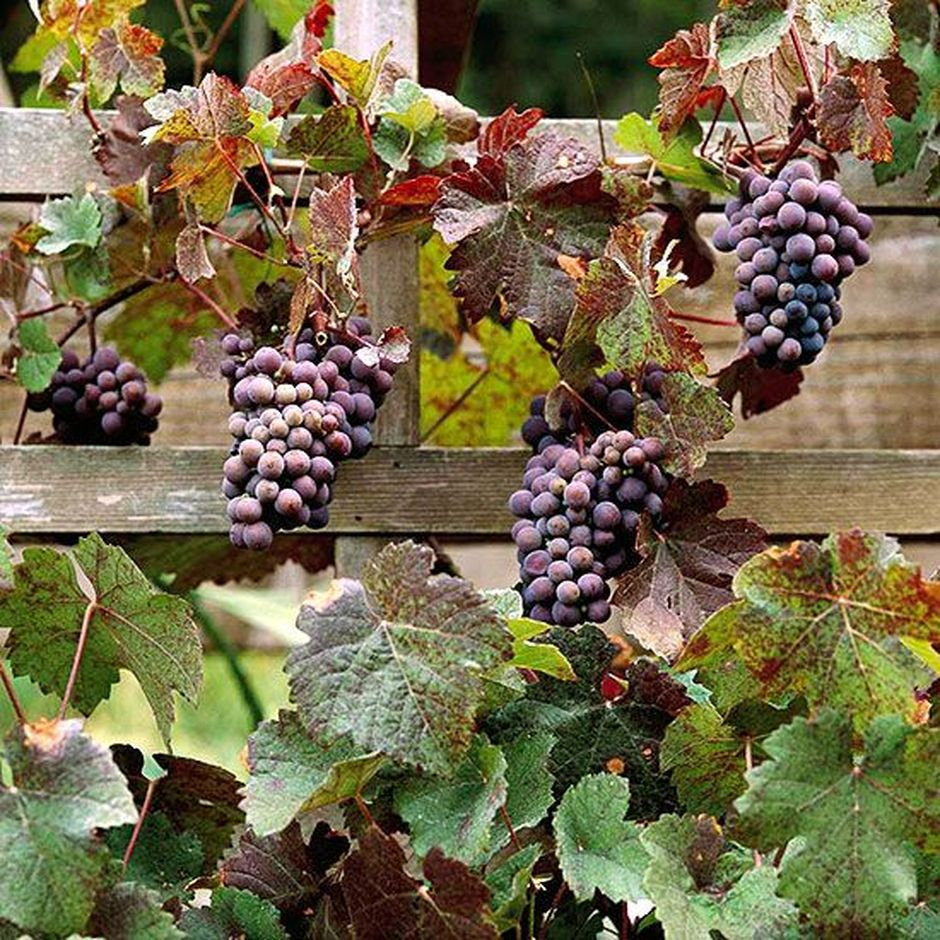 20 Awesome Tips And Ideas To Grow Grape In Your Home