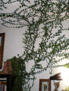 Marvelous Indoor Vines and Climbing Plants Decorations 18