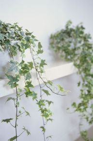 Marvelous Indoor Vines and Climbing Plants Decorations 22