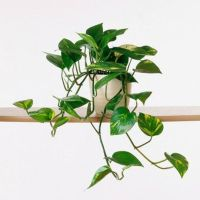 Marvelous Indoor Vines and Climbing Plants Decorations 45