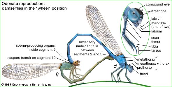 dragonflies eye diagram 4 way light switch wiring the odonata here is a of wheel mating position also shown head area damselfly pin pointing facial anatomy animal