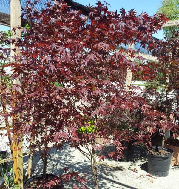 25 Best Ornamental Trees For Landscaping Maples Pictures And Ideas