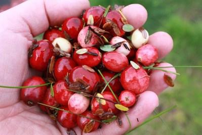 cranberry harvest