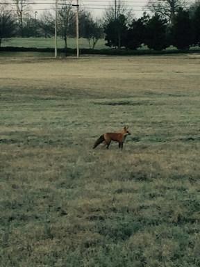 Red Fox 2015-03-17 Standing