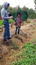 Heifer digging potatoes