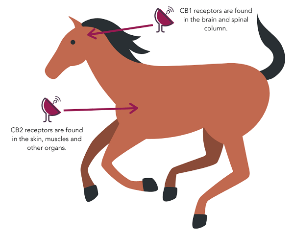 Horses have an endocannabinoid system with two types of receptors: CB1 and CB2.