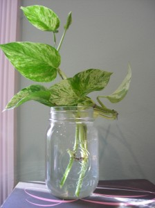 pothos rooting