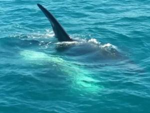 An Orca Pod!
