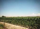 Campos Monsanto // Monsanto crops