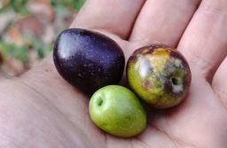 a_mystic_web_of_olives-19