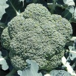 Broccoli 'Premium Crop'