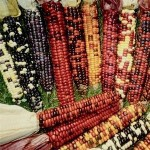 Corn 'Indian'