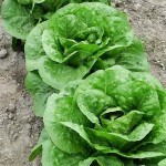 Lettuce 'Parris Island'