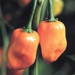 Pepper 'Habanero'