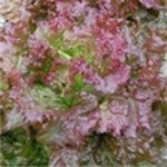 Lettuce 'Royal Red'