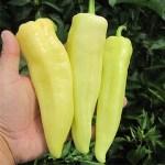 Pepper 'Cubanelle'
