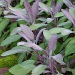 Sage 'Purple'