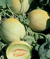 Melon' Earlidew'