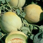 Melon 'Earli-Dew'