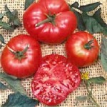 Tomato 'Red Brandywine'