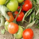 Tomato 'Fourth of July'