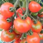 Tomato 'Stupice'