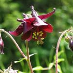 Columbine 'Grandmother's Garden' (Aquilegia)