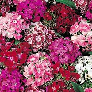 Dianthus 'Sweet William""