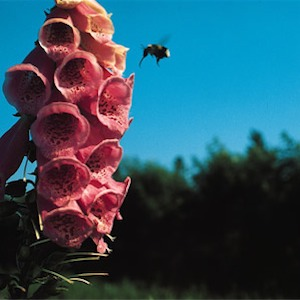 Digitalis 'Strawberry', (Foxglove)
