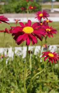 Pyrethrum 'James Kelway' (Painted Daisy)