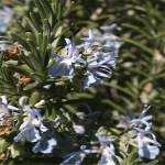 Rosemary 'Huntington Carpet'