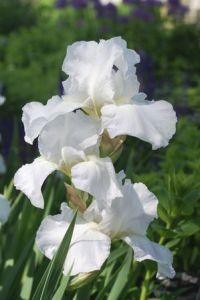 Bearded Iris 'Imortality'