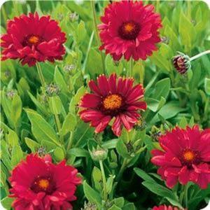 Gaillardia 'Burgundy' ( Blanket Flower)