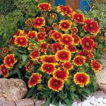 Gaillardia 'Goblin' (Blanket Flower)